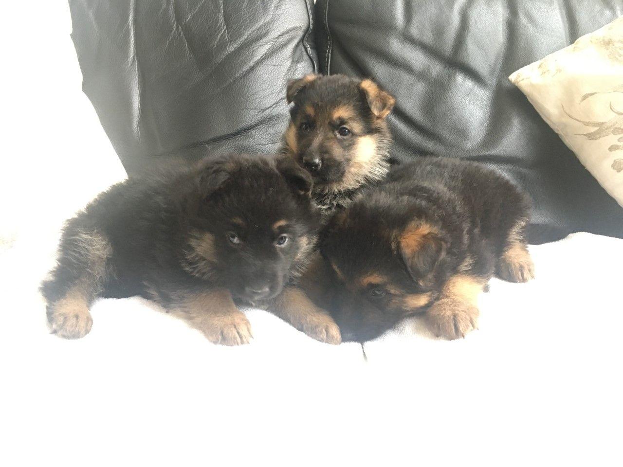 Tenemos cachorros de pastor alemán macho y hembra para tu
