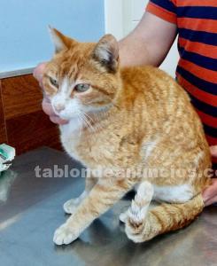 Tigre un amor de gato en adopcion madrid toledo