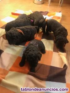 Vendo cachorros perro de agua español