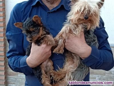 Vendo cachorros yorkshire terrier enanos