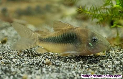 Vendo peces corydoras aeneus o bronce 1,5 euros