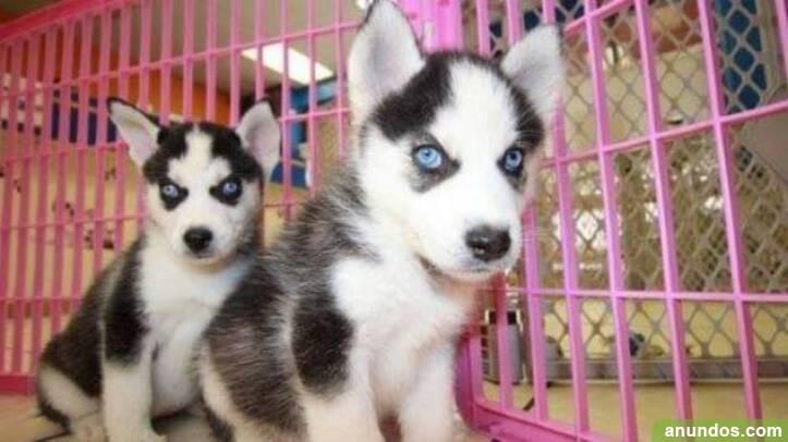 Adorables cachorros de husky siberiano - Badajoz Ciudad