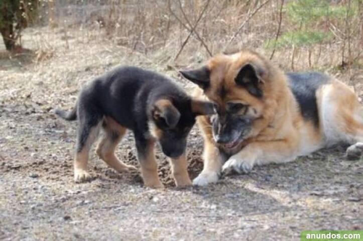 Vc regalo cachorros de pastor alemán de calidad - A Coruña