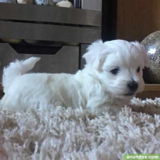 ¡cachorro maltés de pedigrí invaluable listo para su