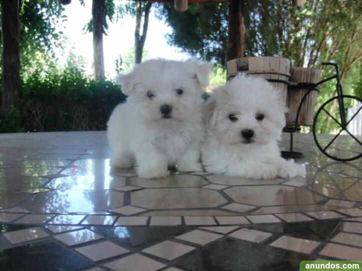 Regalo mini toy cachorros bichon maltes werty - El Catllar