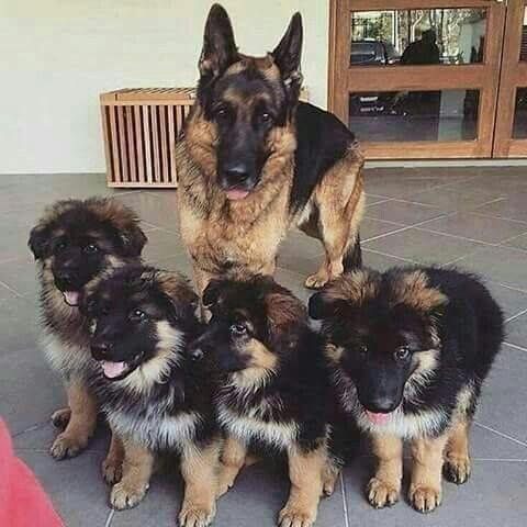 Cachorros de pastor alemán macho y hembra para regalo.