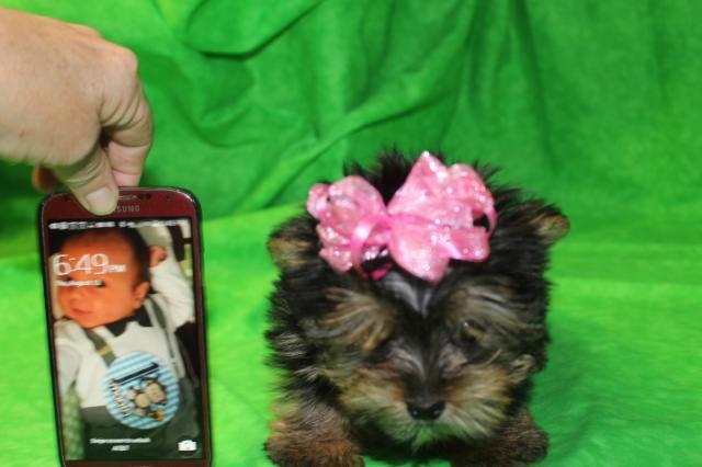 Regalo Cachorros Yorkshire Terrier Mini Toy, para su