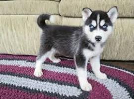 Regalo Preciosos Cachorros Husky Siberiano. (+)