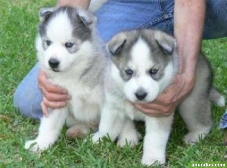 Cachorros de husky siberiano para regalo - Aldeanueva de