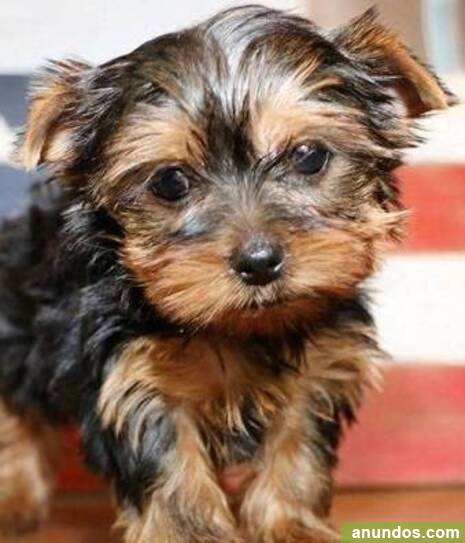 Adorables cachorros de yorkshire terrier/// - Cobeja
