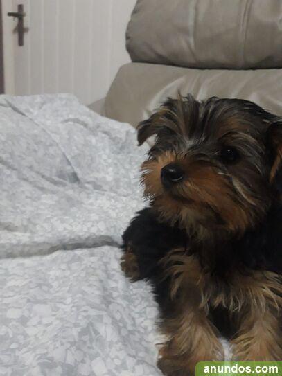 Fantásticos cachorros de yorkshire terrier - Albaida