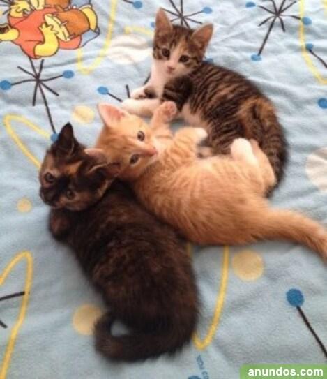 Disponible maine coon gatitos - Aldeacentenera