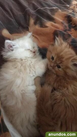 Impresionantes gatitos persas para un nuevo hogar -