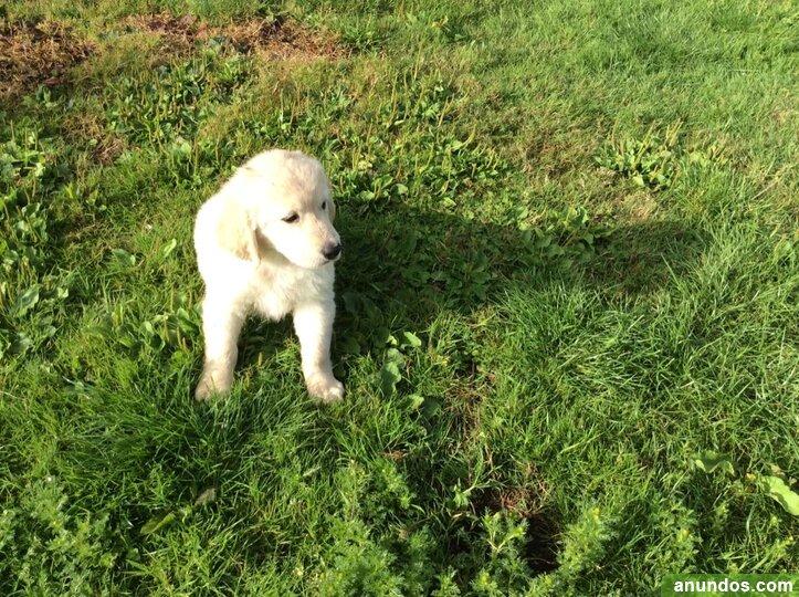 Preciosos cachorros de golden retriever - Alborea