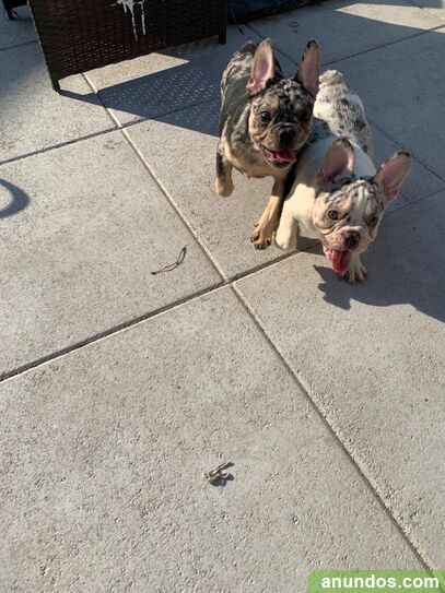 French bulldog puppies - Avià
