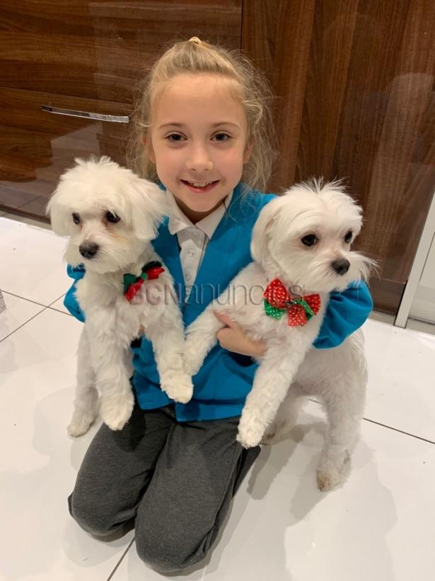 Kc campeón cachorros malteses disponibles para reubicación
