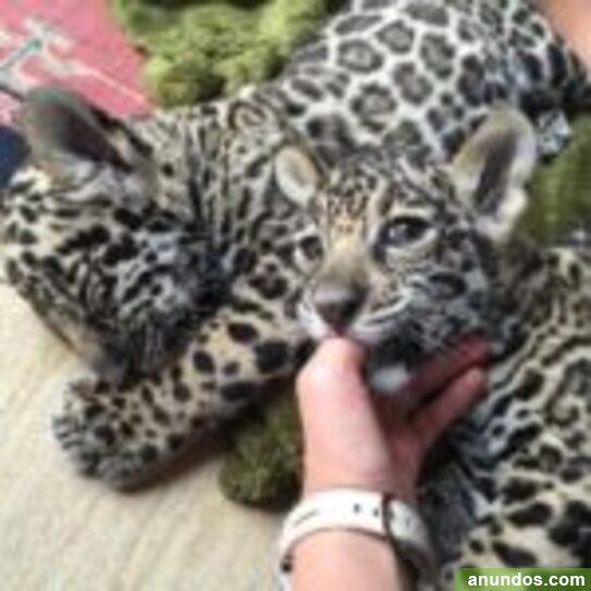 Cachorro de jaguarjaguar es el tercer miembro más grande de