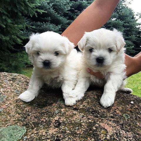 Cachorros bichon maltés Mini Toy, para su adopción
