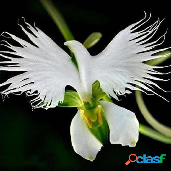 Egrow 200Unids Blancas Flores de Garceta Radiata Japonesas