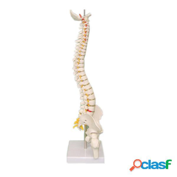 Modelo de espina dorsal 45CM con cabezas de pelvis Femur 1/2