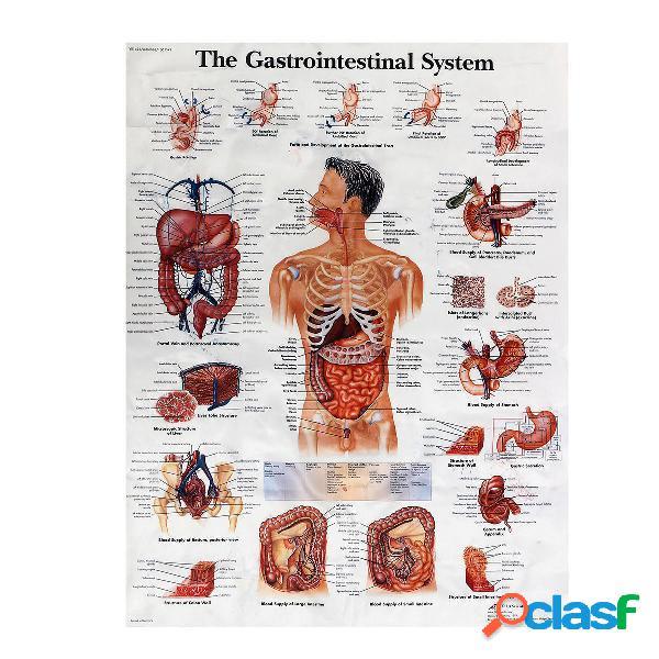 Sistema Digestivo Anatomía Humana Póster de Enseñanza