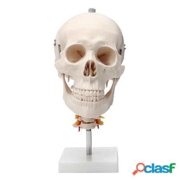 Tamaño adulto humano adulto Cráneo Modelo modelo de