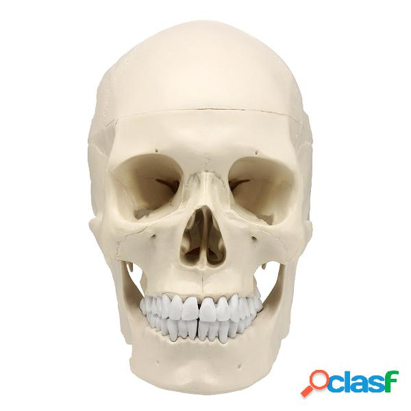 Tamaño natural Anatomía anatómica humana Cabeza de resina