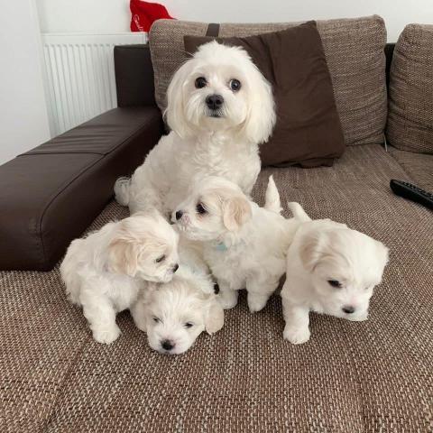 Bichón maltés cachorros macho y hembra para adopción.