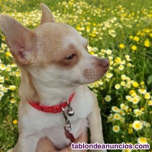 Chihuahua para montas