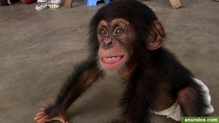 Simpáticos monos capuchinos / titíes disponibles para un