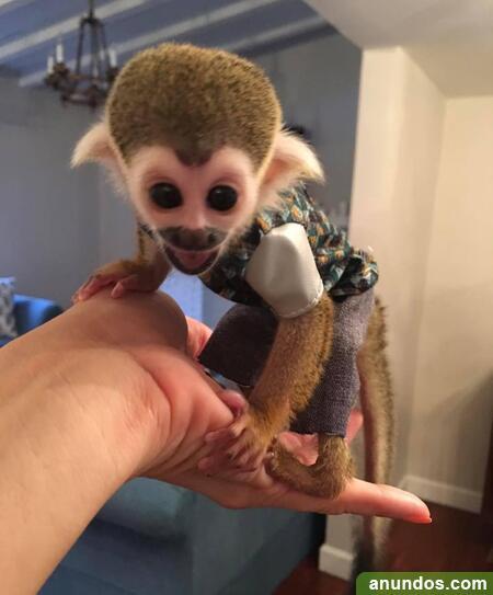 01compre monos y bebés chimpancés como mascotas
