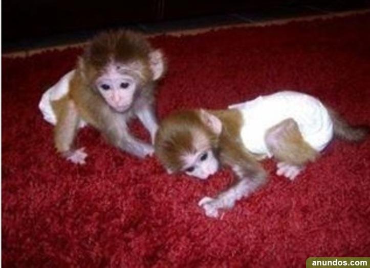 11compre monos y bebés chimpancés como mascotas