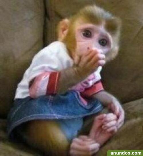 22compre monos y bebés chimpancés como mascotas