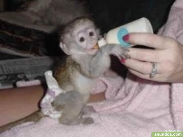 44compre monos y bebés chimpancés como mascotas