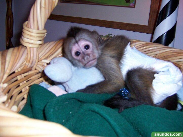 99compre monos y bebés chimpancés como mascotas