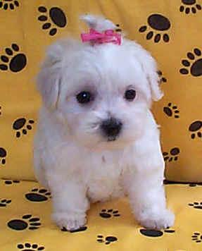Cachorros Malteses para Adopción