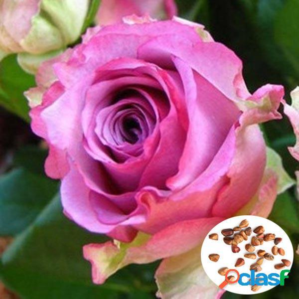 50pcs púrpura Rose roja siembra el jardín casero DIY Dec