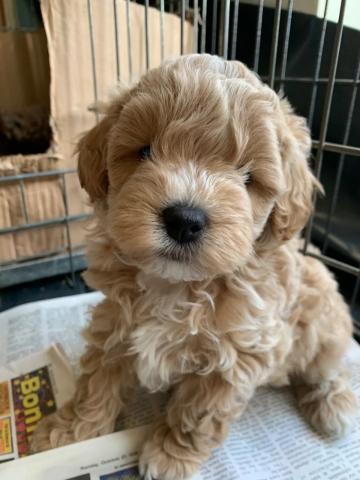 Caniches cachorros macho y hembra en adopción