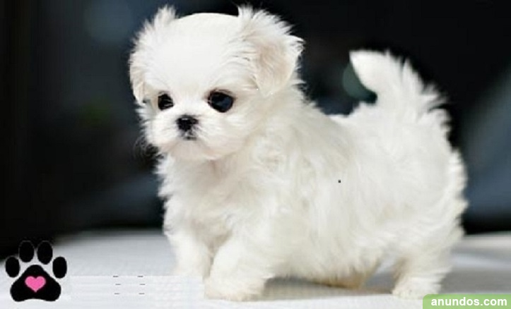 Regalo cachorros bichon maltes mini toy para adopcion -