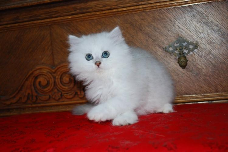 Adorables gatitos de la raza Persas