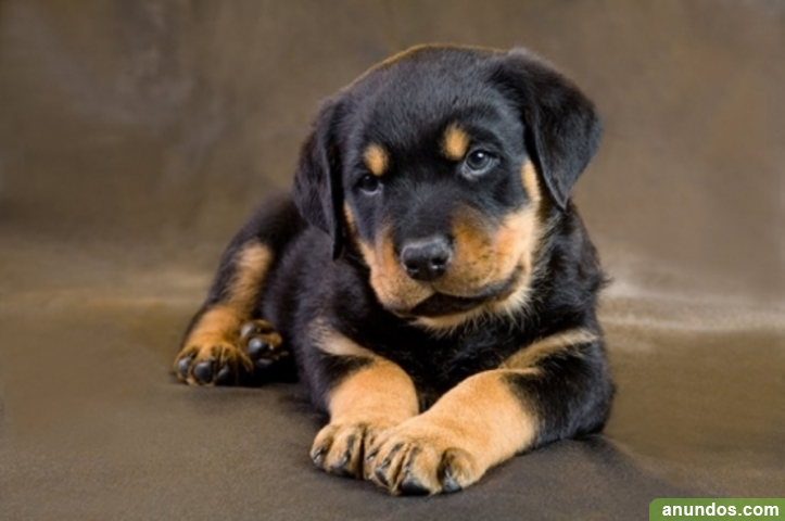 Cachorros rottweiler disponibles sxsdsdsd - Castrillo de la