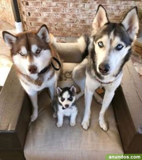 Charming blue eyes siberian huskies puppies ready