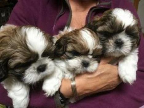 Shih Tzu cachorros macho y hembra en adopción