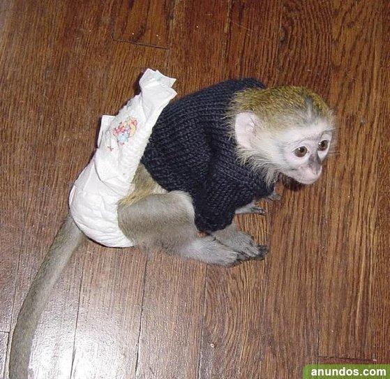Lémur.bebés chimpancés, monos capuchinos, monos ardilla,