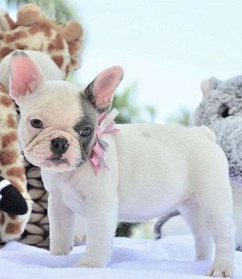 Regalo impresionate cachorros bulldog Frances