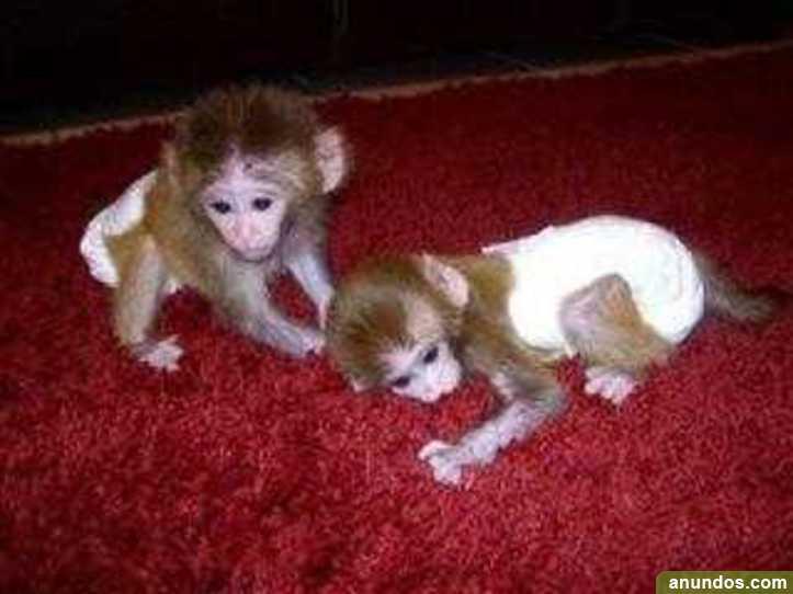 Bebés chimpancés, monos capuchinos, monos ardilla, monos