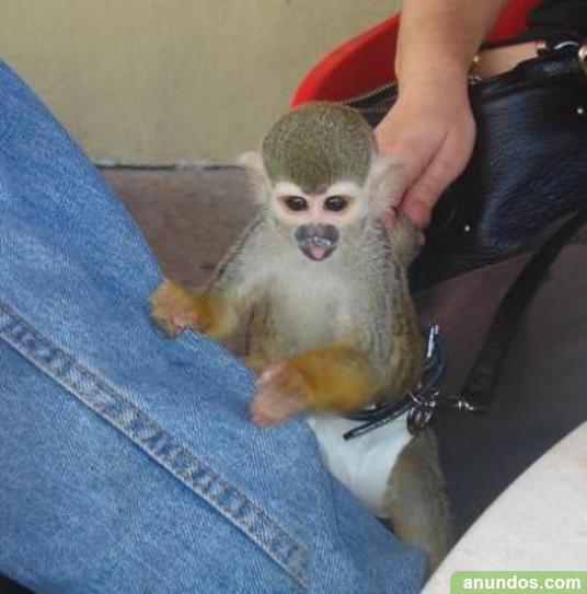 Chimpancés, monos capuchinos, monos ardilla, monos araña,