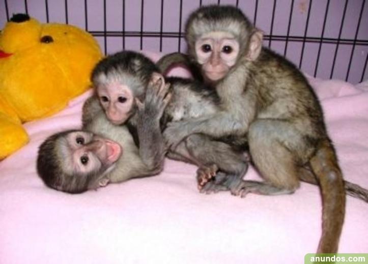 Compre un mono levantado a mano y bebés chimpancés -