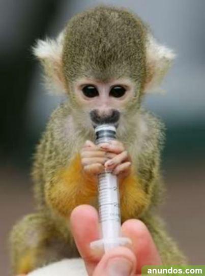 Monos alimentados a mano y bebés chimpancés en venta -