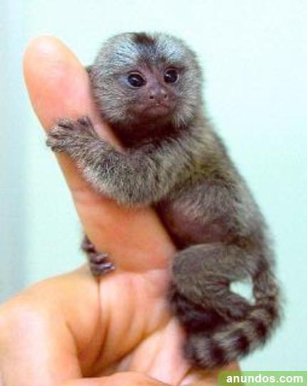 Monos bien entrenados y bebés chimpancés en venta -